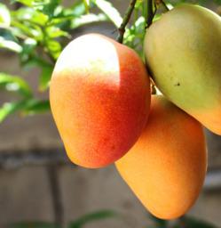 Mango boomgerijpt