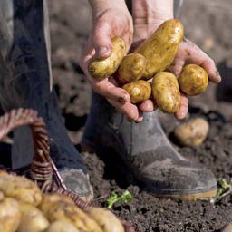 Biologische aardappels
