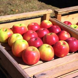 Smitten appel