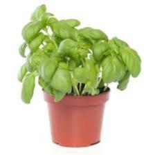 Basilicum pot