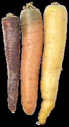 paarse wortel groot