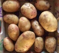 Biologische Carolus aardappels